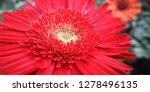 beautiful gerbera is blooming... | Shutterstock . vector #1278496135