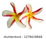 plumeria flower isolated on... | Shutterstock . vector #1278618868
