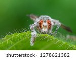 fungus fly in green leaf fly...   Shutterstock . vector #1278621382