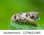 fungus fly in green leaf fly...   Shutterstock . vector #1278621385