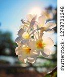 soft frangipani flower or... | Shutterstock . vector #1278731248