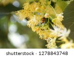 Ladybug On Linden Close Up....