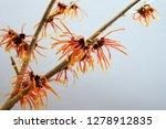 orange blossoming witch hazel...   Shutterstock . vector #1278912835
