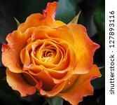 Wet Orange And Red Rose Flower...