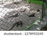 Iguana Behind Bars. Rhinoceros...