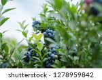 closeup view of northern... | Shutterstock . vector #1278959842