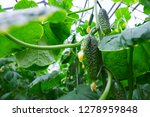 cucumber plants in a greenhouse | Shutterstock . vector #1278959848