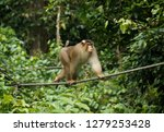 male pig tailed macaque  pig... | Shutterstock . vector #1279253428