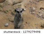 suricata zoo outdoors   Shutterstock . vector #1279279498