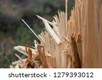 tree felled by powerful winter... | Shutterstock . vector #1279393012