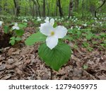 Forest With White Flowers In...