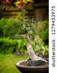 bonsai tree in a garden in bali ... | Shutterstock . vector #1279453975