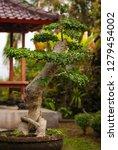 bonsai tree in a garden in bali ... | Shutterstock . vector #1279454002