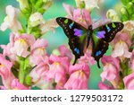 Purple Spotted Swallowtail...