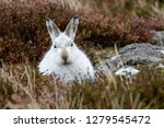 Stock photo white mountain hare lepus timidus these hares are native to the british isles this one was in 1279545472