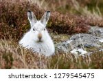 Stock photo white mountain hare lepus timidus these hares are native to the british isles this one was in 1279545475