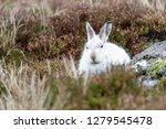 Stock photo white mountain hare lepus timidus these hares are native to the british isles this one was in 1279545478