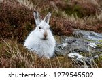 Stock photo white mountain hare lepus timidus these hares are native to the british isles this one was in 1279545502