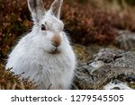 Stock photo white mountain hare lepus timidus these hares are native to the british isles this one was in 1279545505