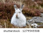 Stock photo white mountain hare lepus timidus these hares are native to the british isles this one was in 1279545508
