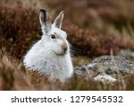 Stock photo white mountain hare lepus timidus these hares are native to the british isles this one was in 1279545532
