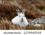 Stock photo white mountain hare lepus timidus these hares are native to the british isles this one was in 1279545535