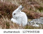 Stock photo white mountain hare lepus timidus these hares are native to the british isles this one was in 1279545538