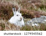 Stock photo white mountain hare lepus timidus these hares are native to the british isles this one was in 1279545562