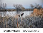 red winged blackbird  agelaius...   Shutterstock . vector #1279630012