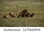 large lion family with a cub... | Shutterstock . vector #1279663945