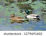 wild duck  anas plathyrhynchos  ... | Shutterstock . vector #1279691602