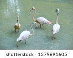 pink flamingo flock in dirty... | Shutterstock . vector #1279691605