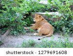lioness rest in forest at... | Shutterstock . vector #1279691608