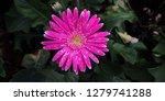 beautiful single blooming... | Shutterstock . vector #1279741288