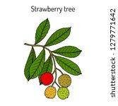 strawberry tree  arbutus unedo  ... | Shutterstock .eps vector #1279771642