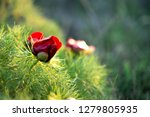 wild peony is thin leaved ...   Shutterstock . vector #1279805935