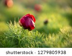 wild peony is thin leaved ...   Shutterstock . vector #1279805938