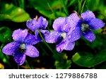 Common Blue Violet  Viola...