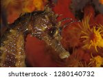 head of long snouted seahorse | Shutterstock . vector #1280140732