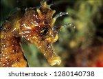 long snouted seahorse along... | Shutterstock . vector #1280140738
