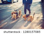 Stock photo cropped woman walking yorkie yorkshire terrier dogs on the city street dogs in movement part 1280157085