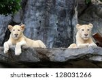 Couple Of White Lion Cubs