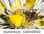 Spider Crab Spider Of Flowers...