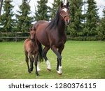 Mare And Foal Of Sport Horse O...