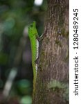 hump snout lizard or lyre head...   Shutterstock . vector #1280489245