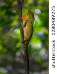 hump snout lizard or lyre head...   Shutterstock . vector #1280489275