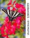 Zebra Swallowtail Butterfly ...