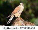common kestrel  falco... | Shutterstock . vector #1280504638