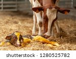 birth of little calf in the... | Shutterstock . vector #1280525782