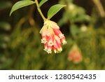 "bunch of pink ""jungle blueberry""...   Shutterstock . vector #1280542435"